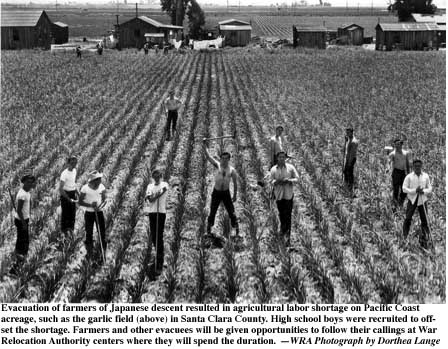 Dorothea Lange's photograph of students harvesting garlic because of wartime labor shortage. Photo dated May 5, 1942. Taken in San Lorenzo, Calif.